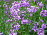 Shelled Warriors Violet Sweet Rocket 200 seeds - free post